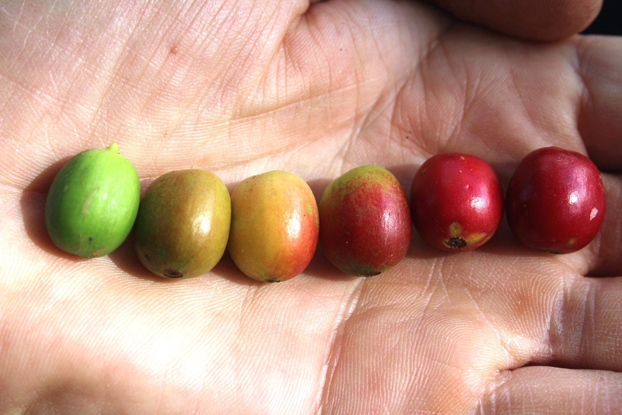 umami kaffee camp colored cherries